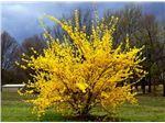 یاس زرد-Gelsemium sempervirens
