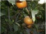 نهال میوه گلابی پرتغالی