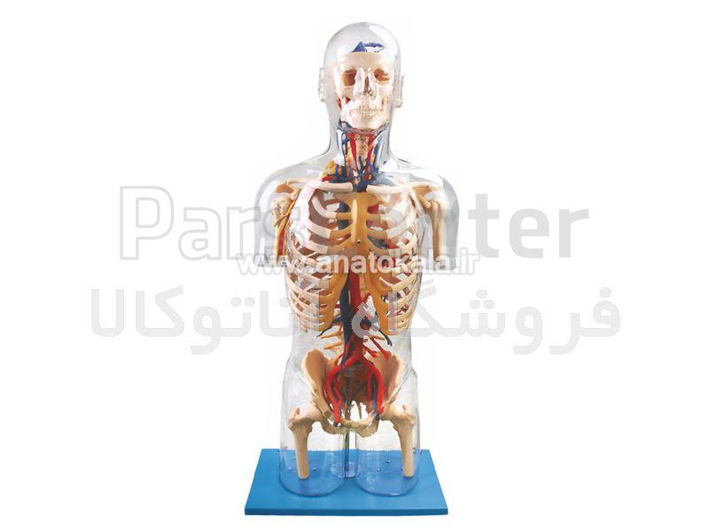 نیم تنه بدن انسان با نمایش سیستم اعصاب و عروق با بدن شیشه ای
