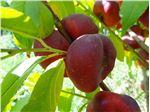 نهال میوه شلیل انجیری