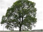 درختان مقاوم به خشکی-کم آبی