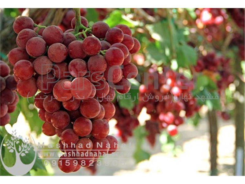 نهال انگور فلیم سیدلس
