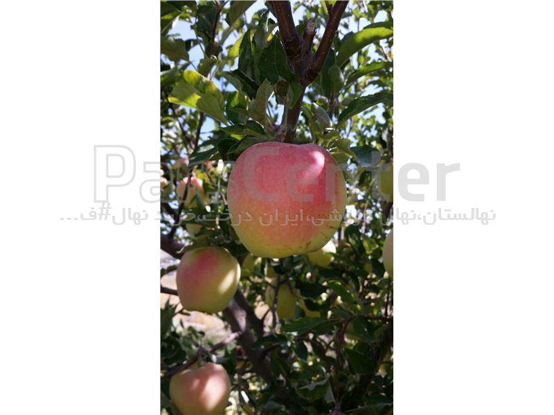 سیب گلدن رندرز-apple golden renderz-نهال سیب پایه کوتاه