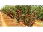 نهال پایه نیمه پاکوتاه سیب مالینگ ـ مرتون