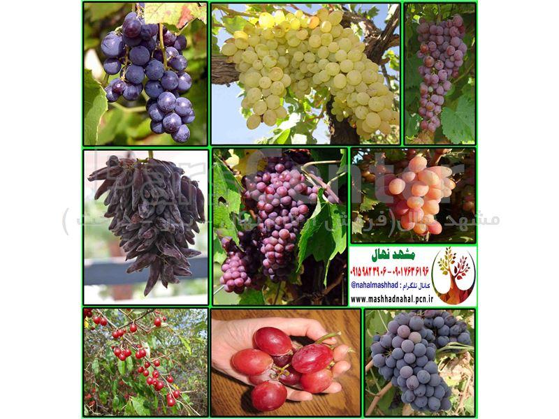 انواع  نهال انگور-یاقوتی-سانی-ترکمن-شمشیری-عسگری-ریش بابا