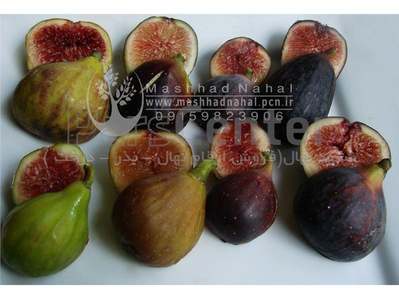 انواع نهال انجیر-Ficus carica