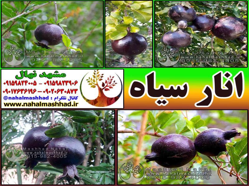 نهال انار سیاه-Black pomegranate