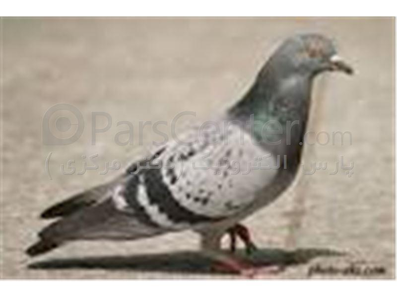 دور کننده کبوتر - دفع دائمی پرندگان