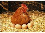 جوجه مرغ بومی تخمگذار- طیور پروران میهن