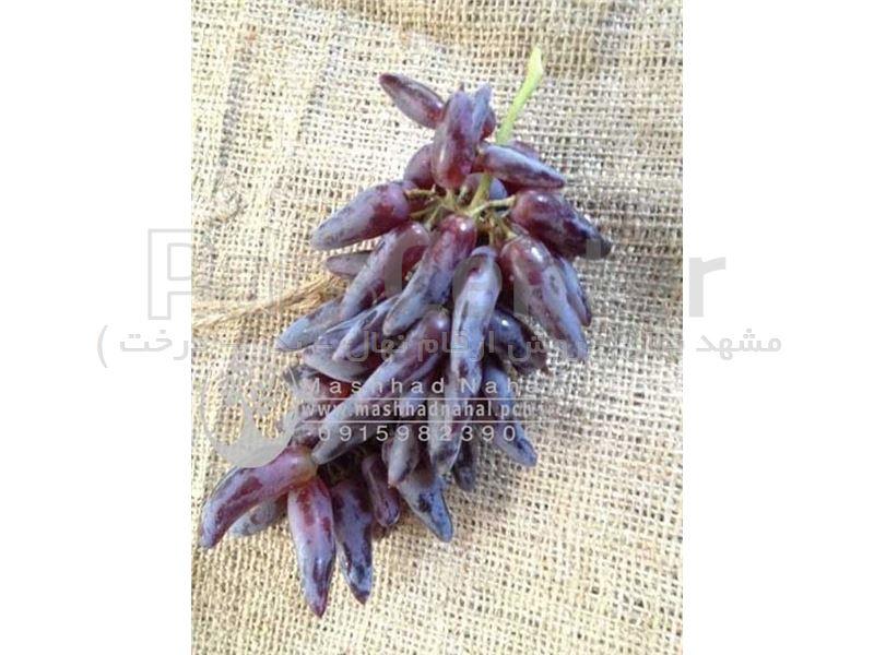 نهال انگور شمشیری - انگور انگشت جادوگر Grape Witch Finger