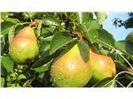 نهال میوه گلابی نطنز