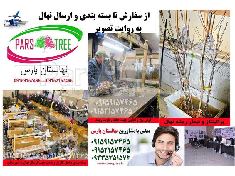 درخت توت موزی