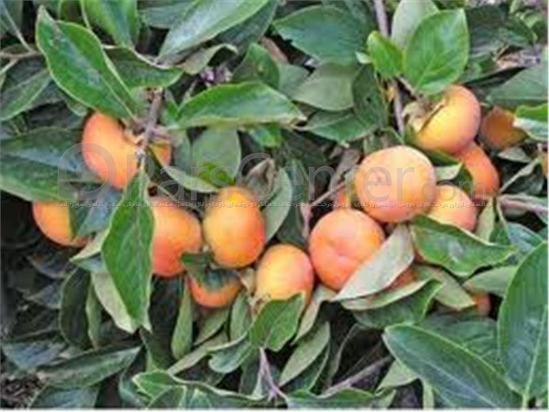 خرید درختان 3 ساله میوه ثمره - 42