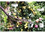 درختان ترکیبی#نهال چند نوع میوه
