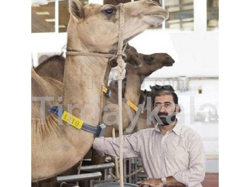 Camel Neck tag - Large size