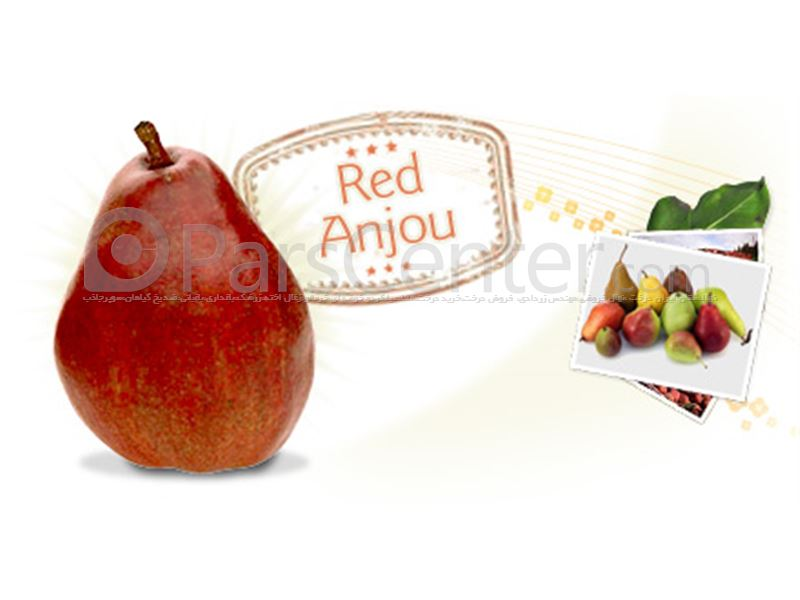 گلابی_قرمز آنجو، Red Anjou Pear
