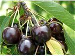 نهال میوه گیلاس سیاه