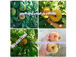 نهال میوه هلو پلنگی