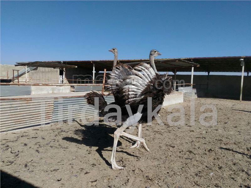 Ostrich collar tag