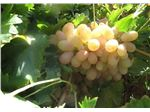 انگور دم خروسی/tree،garpe