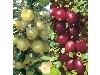 خرید و قیمت نهال انگور فرنگی گوسی بری در شرکت یاشیل فیدان قوشاچای
