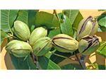 درخت گردو آمریکایی -میوه گردو آمرکایی -نهال گردو پیکان
