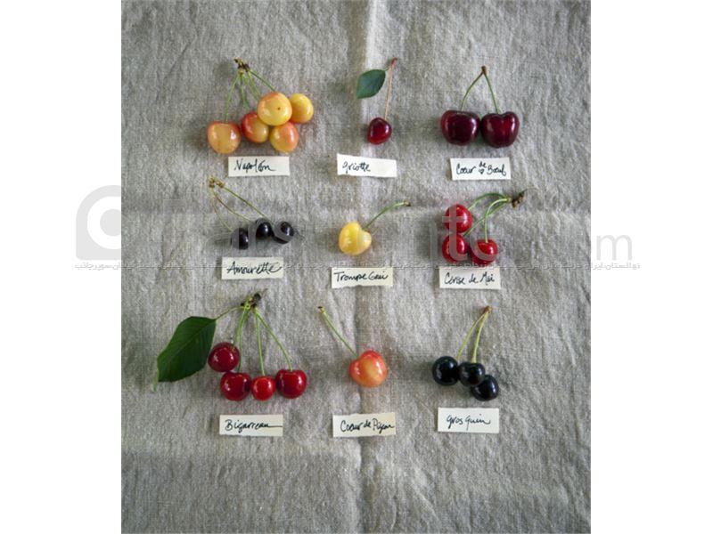 ارقام جدید میوه،ارقام جدید اصلاحی گیلاس،ارقام جدید مرکبات،ارقام جدید گردو