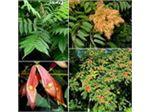 عرعر،درخت عرعر،Ailanthus altissima