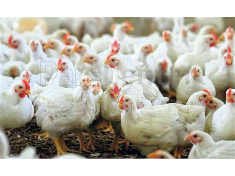 جوجه مرغ گوشتی نژاد کاب- طیور پروران میهن