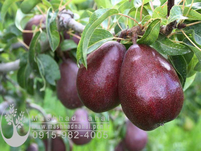 نهال گلابی آنجو-Angel pear
