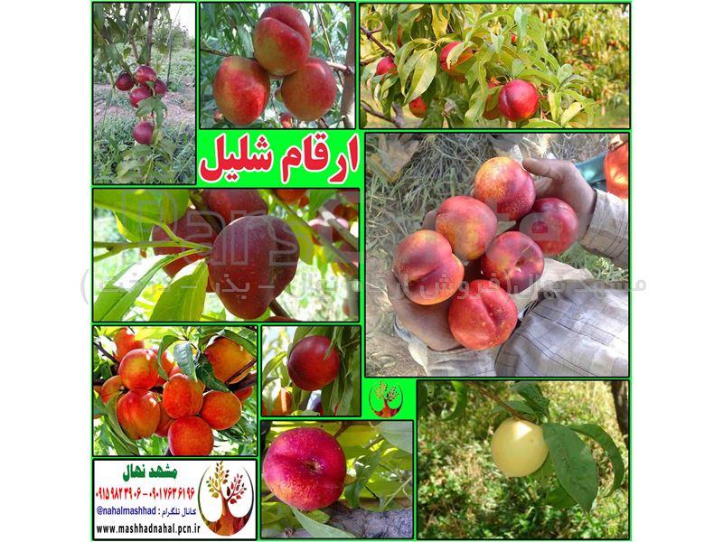 نهال شلیل انجیری-Nectarine