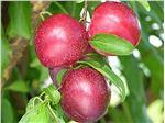 نهال میوه  آلو کالیفرنیا یا شابلون