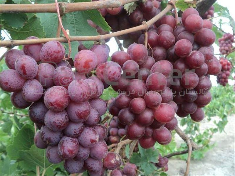 درخت انگور رد گلوب Red Globe Grape