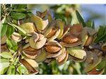 نهال میوه بادام کاغذی
