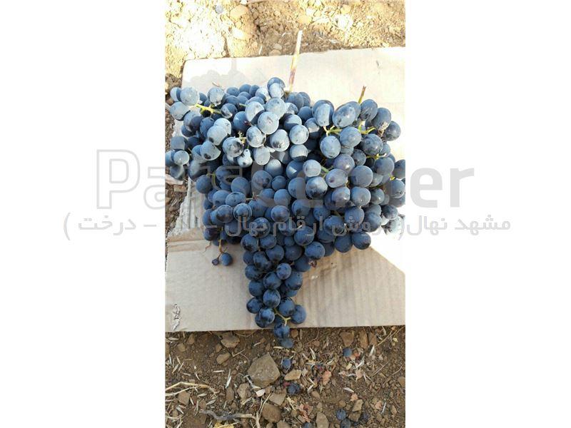 نهال انگور سردشت مریوان - انگور مویز