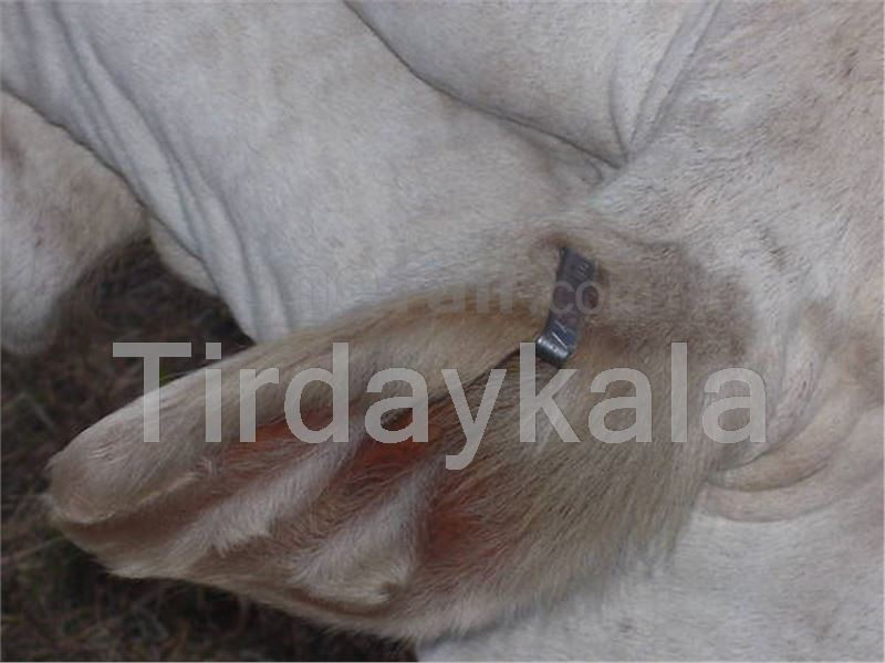 Metal ear tag for cow