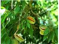 بادام دیرگل رقم شکوفه، almond