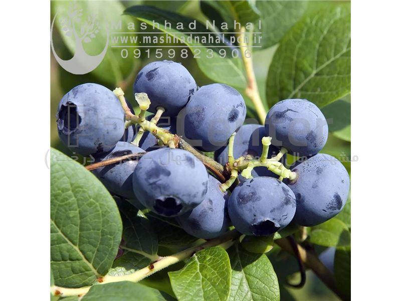 نهال بلوبری blueberry