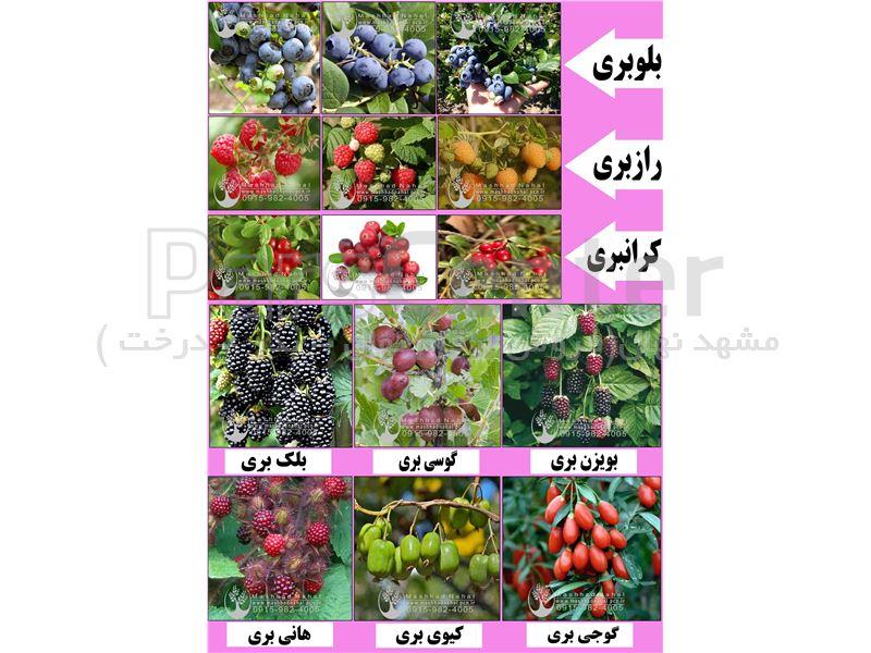 آغاز فروش نهال های میوه بهصورت گلدانی در ارقام مختلف