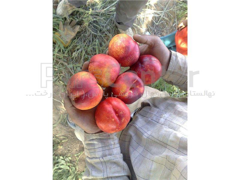 درخت شلیل کیوتا-Nectarine