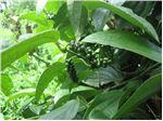 درخت فلفل ،فلفل سیاه،،نهال فلفل سیاه