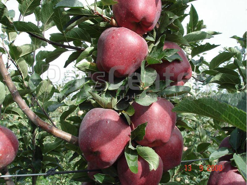 سیب رد مریکال_نهال رد مریکال