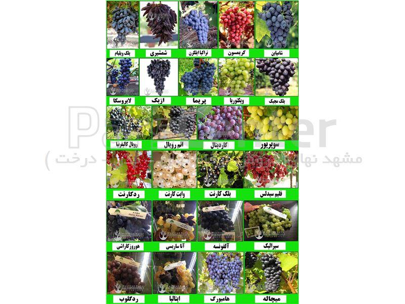 ارقام مختلف نهال های انگور خارجی(خاص و کمیاب)