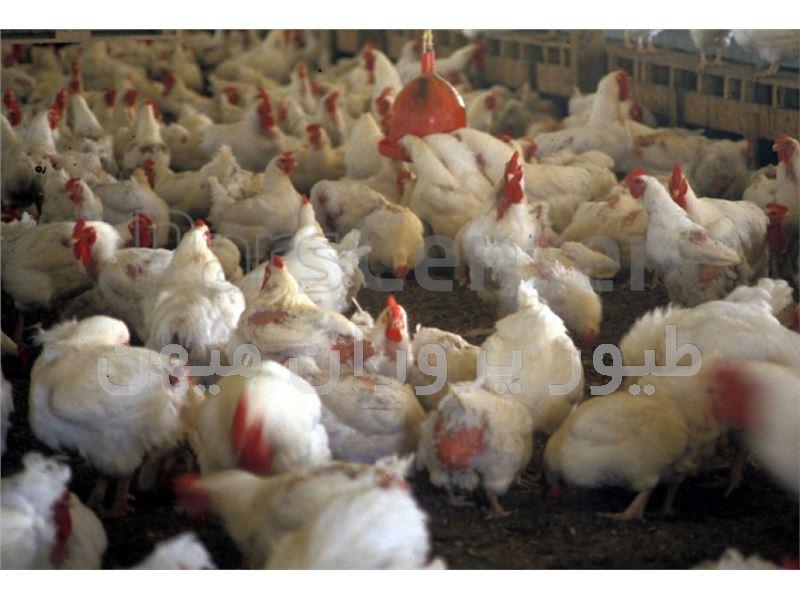 جوجه مرغ گوشتی نژاد راس- طیور پروران میهن