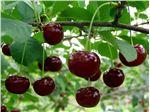نهال میوه آلبالوی محلی