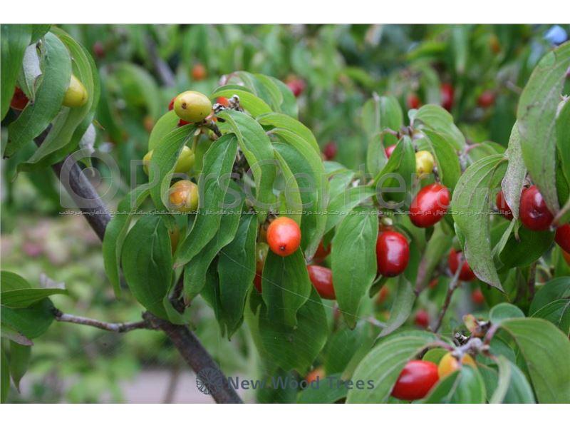 دستورالعمل احداث باغ میوه های هسته دار