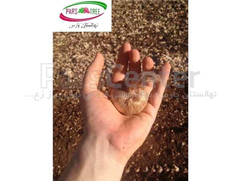 خرید پیاز زعفران،فروش پیاز زعفران/Saffron