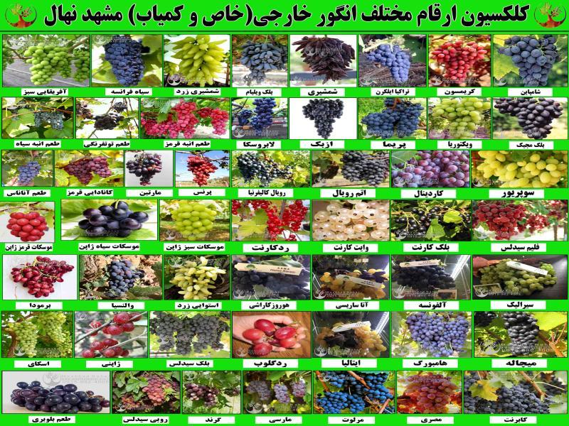 فروش ارقام مختلف نهال میوه-نهال میوه خاص و کمیاب