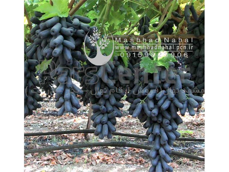 فروش ارقام جدید انگور وارداتی خاص و کمیاب به صورت گلدانی (وارداتی)