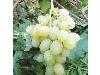 انگور دیزماری؛خرید نهال انگور دیزماری در نهالستان تک فیدان